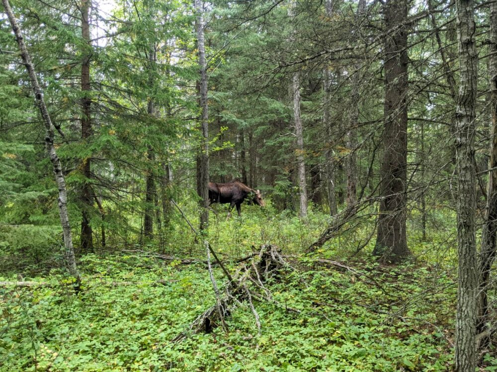 Peek through forest views of a moose cow eating foliage