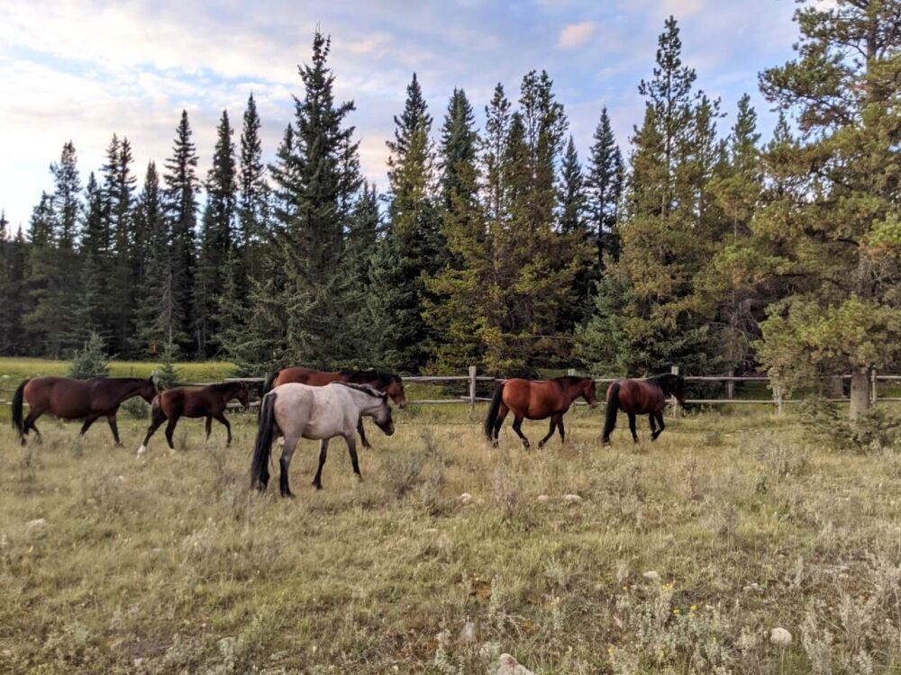 Wild horses walk away from camera towards forest
