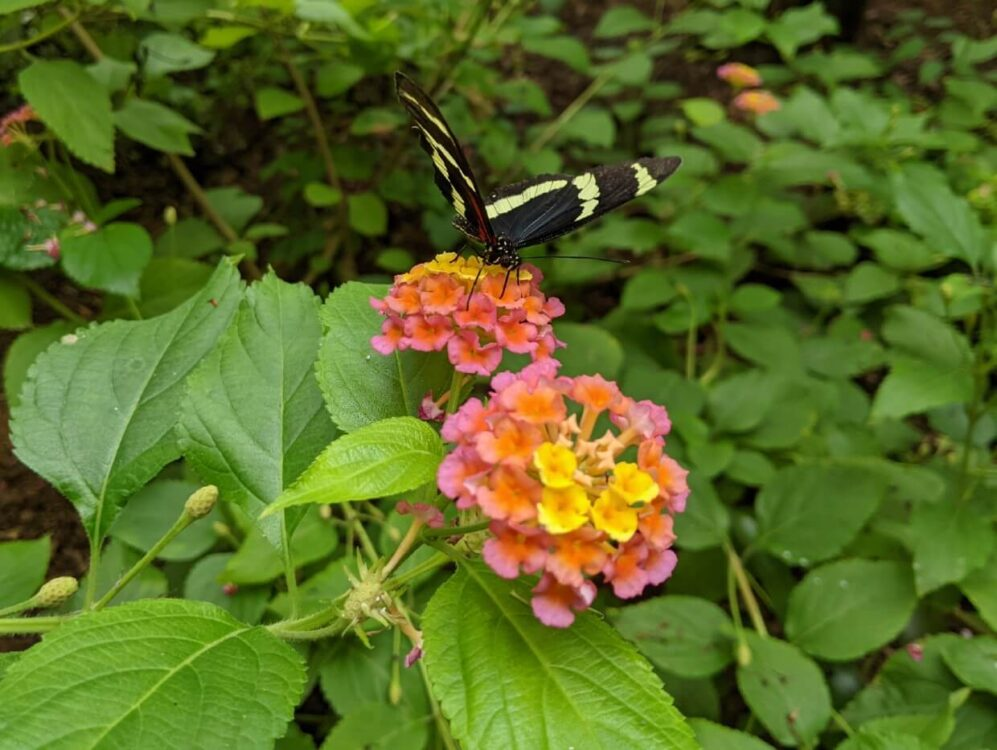 Close up of black and cream butterfly sat on yellow, orange and pink flowers with green foliage in the background
