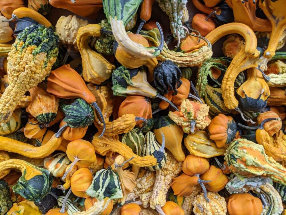 Overhead view of pile of decorative squash in Osoyoos