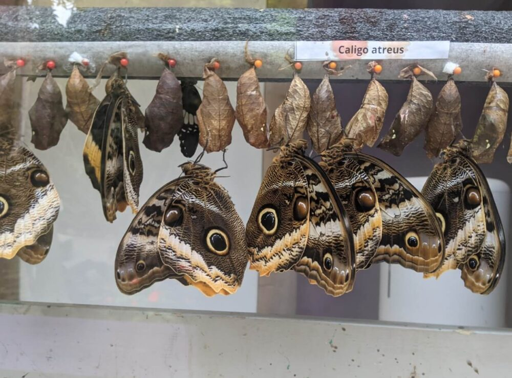 Close up of butterflies emerging from chrysalis at Butterfly World, with four large butterflies hanging upside down