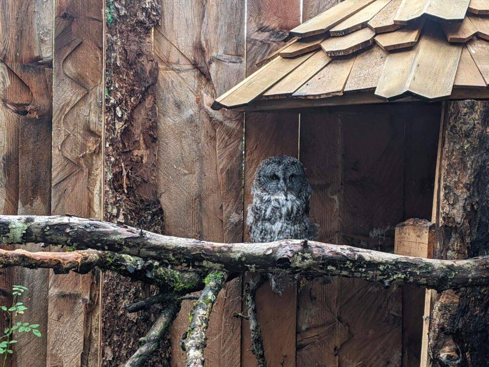 Close up of Great Gray Owl sat on branch looking towards camera, with wooden fence behind