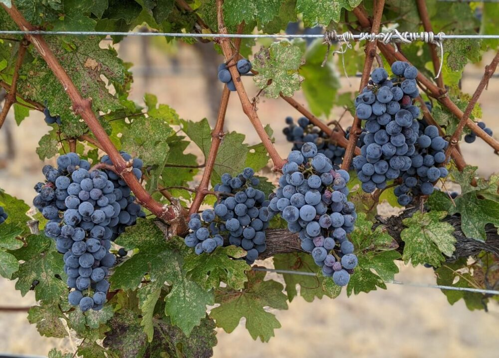 Front view of harvest ready grapes on vines in vineyards
